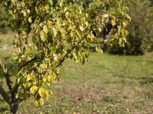 Хлороз способен погубить дерево