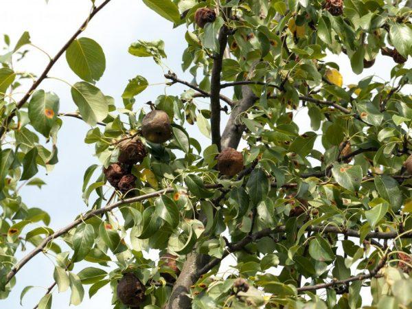 Пораженные участки дерева нужно удалять