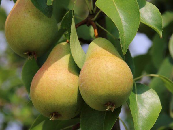 Плоды груши Брянская красавица зеленого цвета с красным румянцем, вытянутой формы