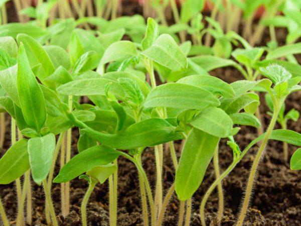 Томаты следует выращивать рассадным способом