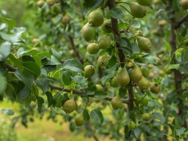 Хороший уход повышает урожайность дерева