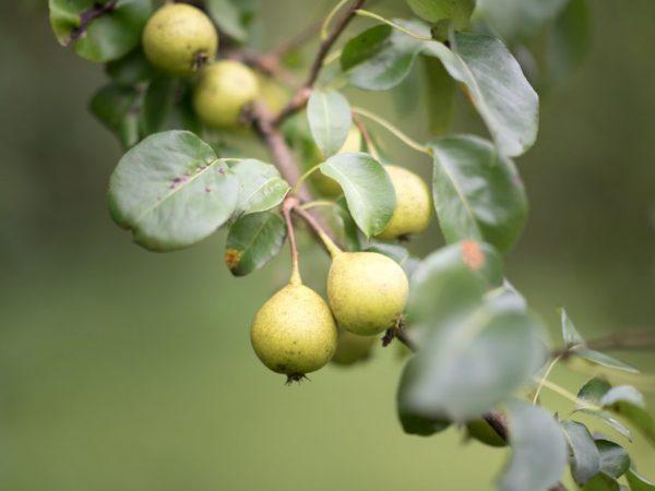 Из плодов дички можно приготовить целебный отвар