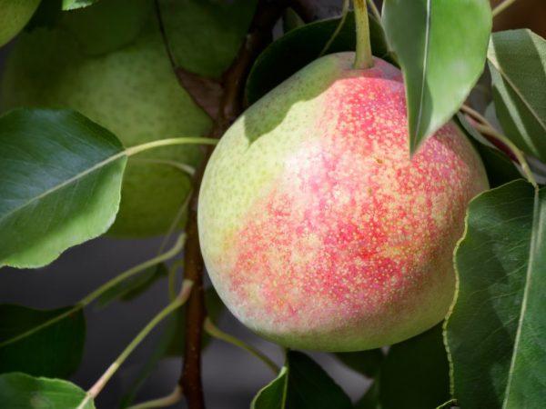 Плоды желтого цвета с красным румянцем