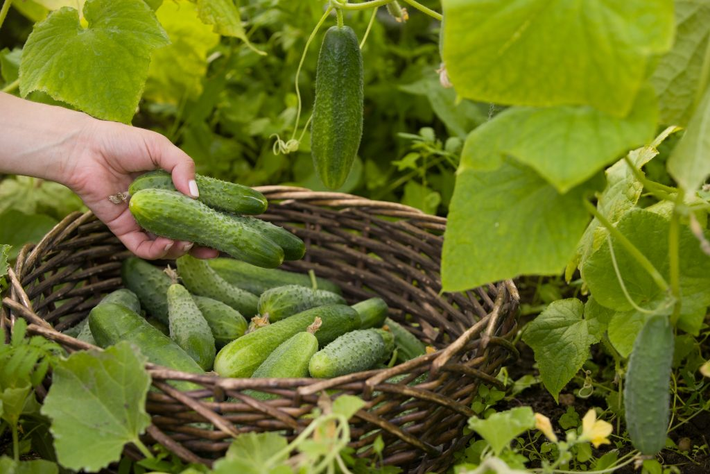 Удобрения для огурцов в открытом грунте