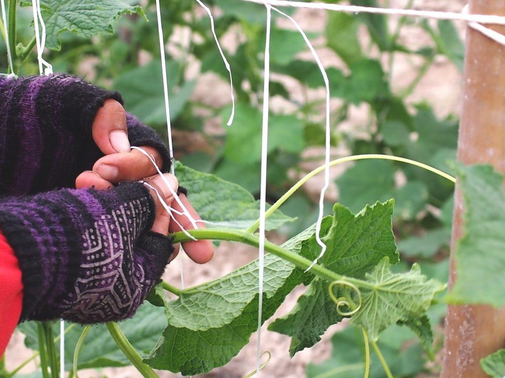 Как подвязать огурцы в открытом грунте