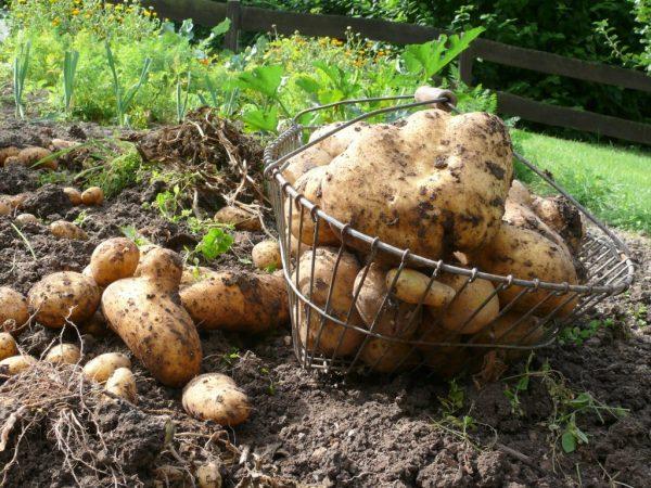 Крупная картошка при предварительной обработке