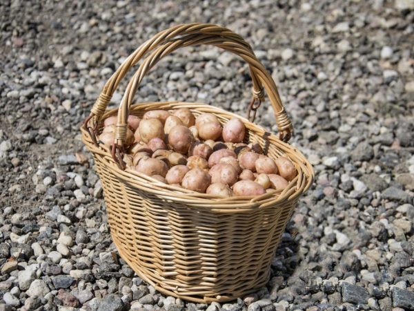 Правильно посадить картофель