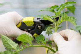 Срок и технология прищипываня помидоров