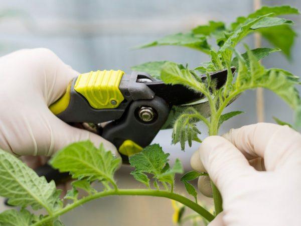 Технология прищипывания помидоров