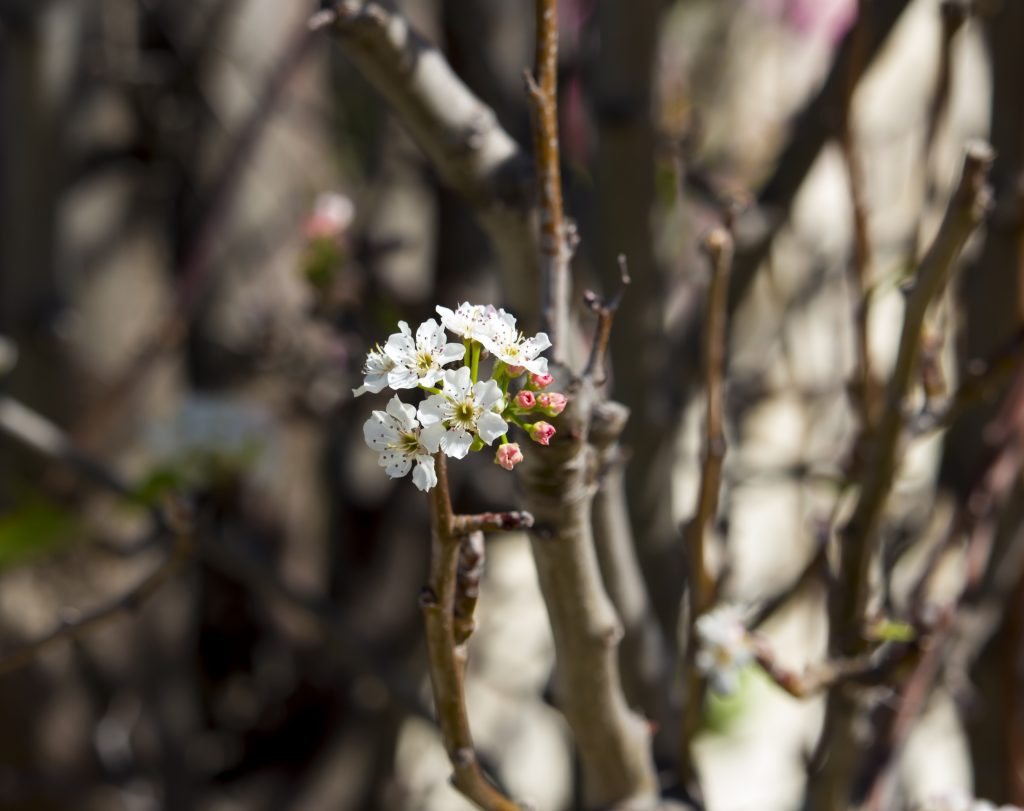 Что можно привить на черноплодную рябину