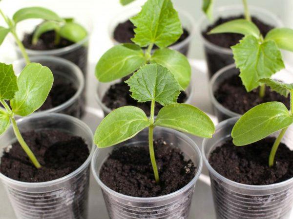 Как правильно прорастить семена огурцов перед посадкой