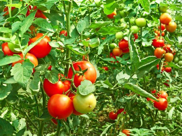 Способы ускорить созревание помидоров