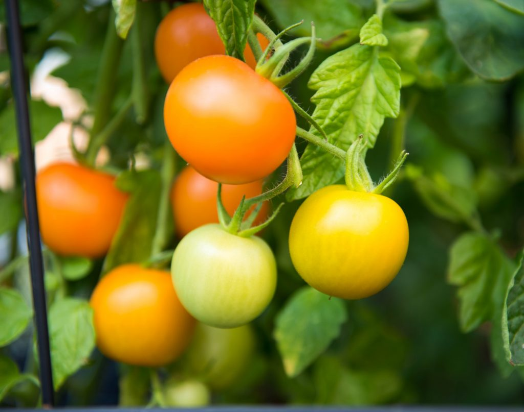 Почему не краснеют помидоры на кусту. Помидоры не краснеют? Что с этим делать