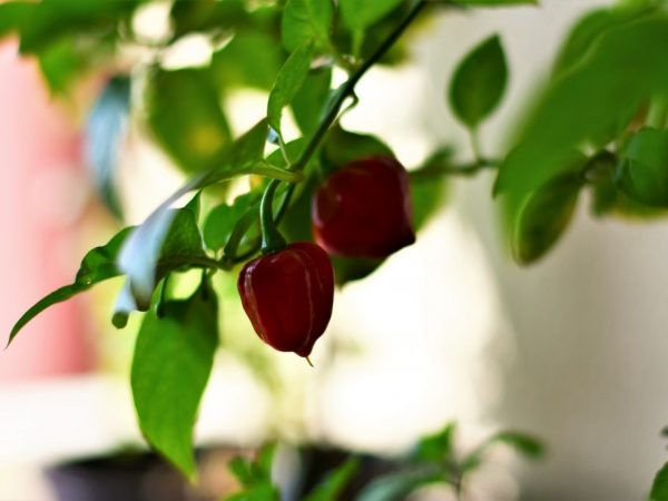 Выращивание перца на балконе
