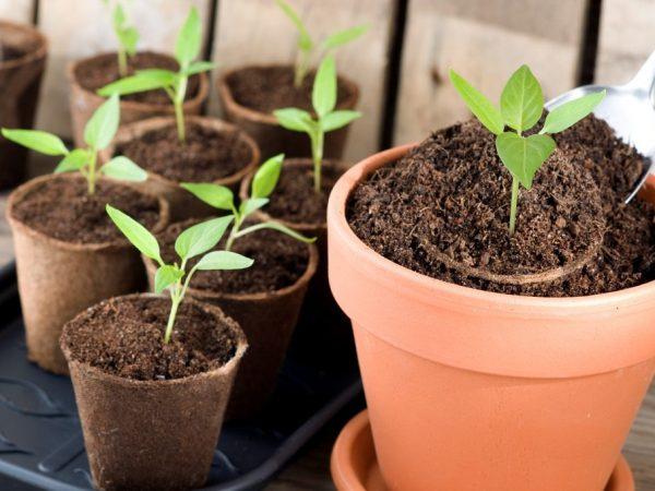 При появлении пятого листа растения можно пересаживать