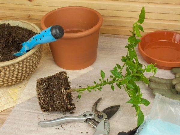 Правила выращивания рассады перца в домашних условиях