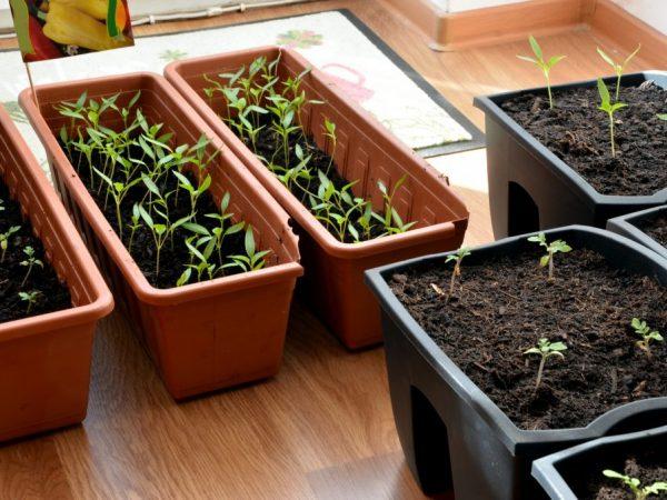 Семена садят в конце зимы