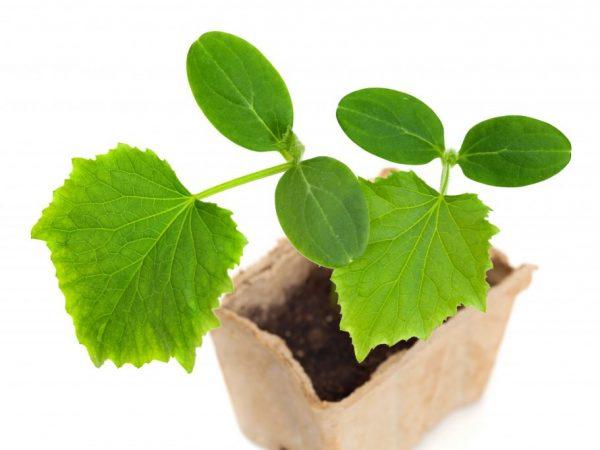 При появлении третьего листа растение нужно пересадить