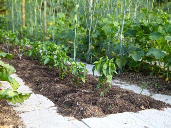Перец хорошо растет при теплой погоде