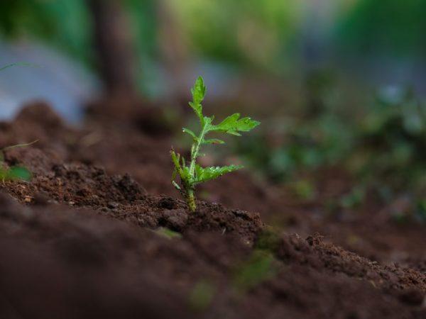 Помидоры вырастить легко