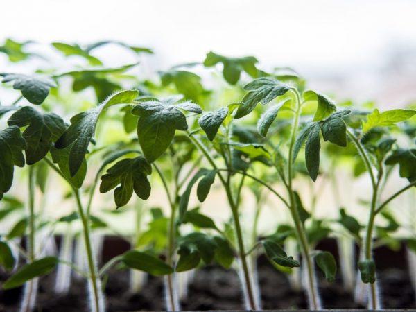 Высаживать растения лучше в шахматном порядке