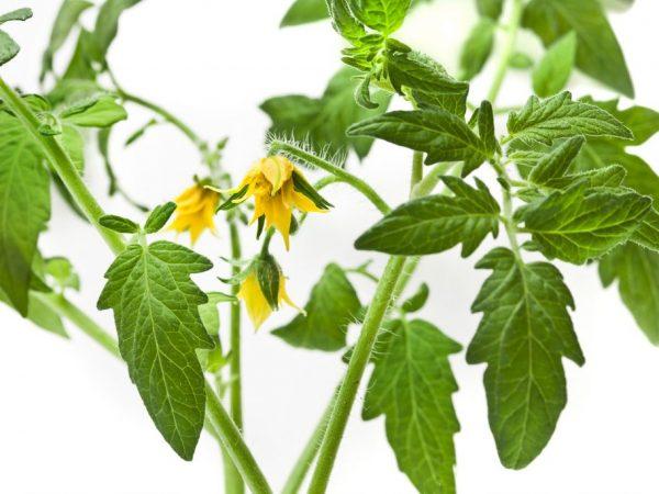 Уход за растением не доставит трудностей