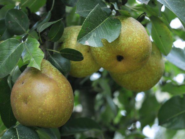 Плоды универсальны в использовании