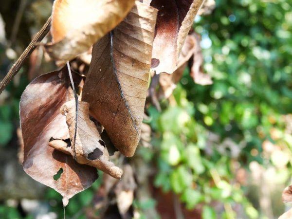 Почему листья груши становятся коричневыми