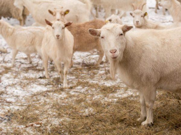 За козами нужен уход