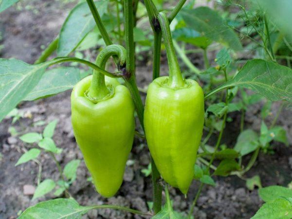 Во время плодоношения растениям необходим фосфор