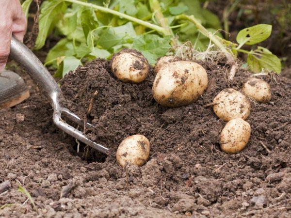 Описание сорта картофеля Лидер