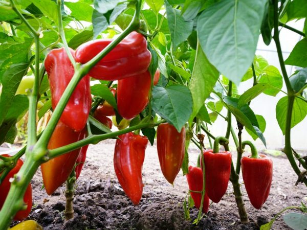 Сорт отличается высокой урожайностью