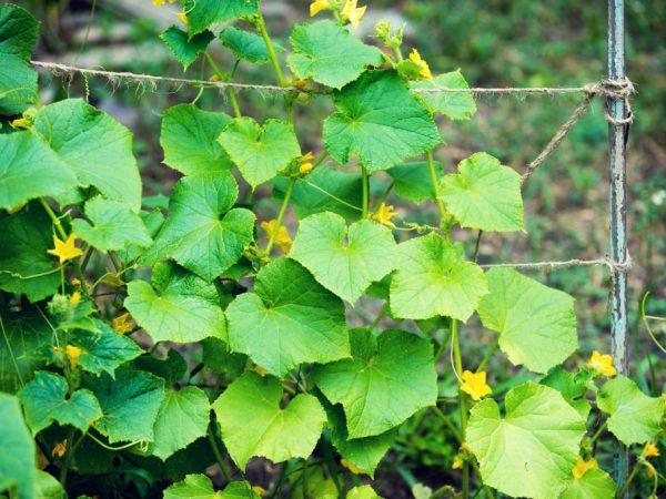 Крепкое растение может вырасти из качественных семян