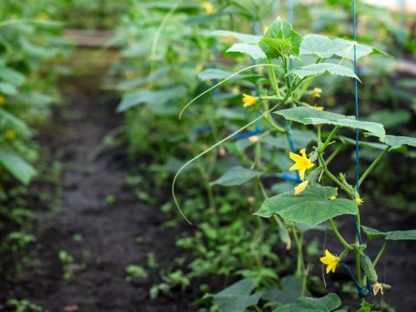 Уход за растением не доставит хлопот