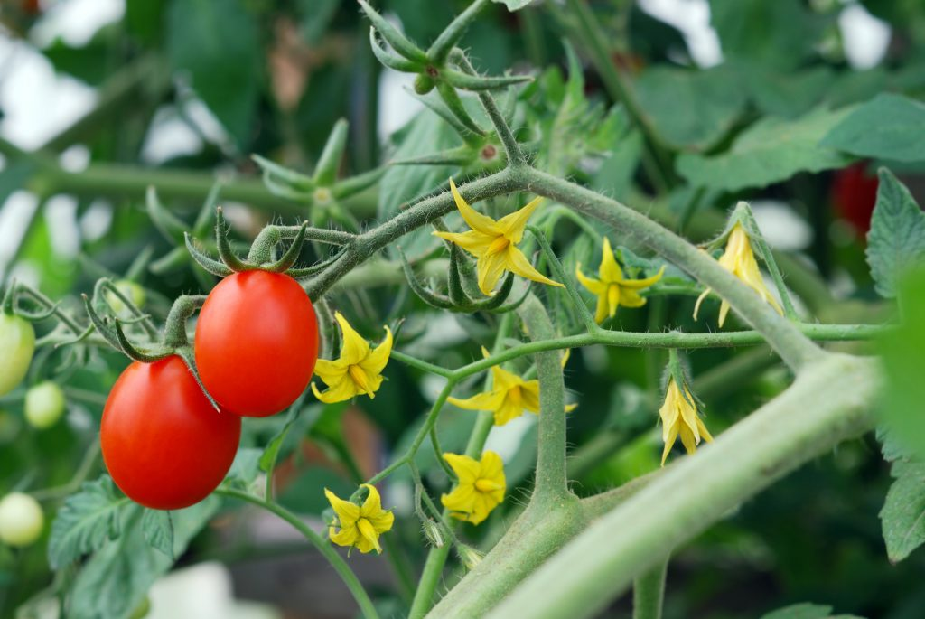 Когда и чем обрабатывать помидоры в открытом грунте
