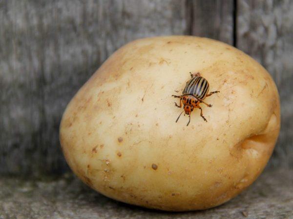 Мыльный раствор против жука
