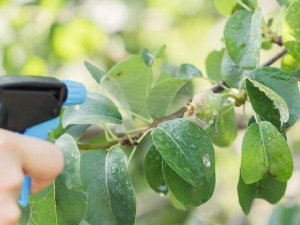 Правила обработки груши от болезней и вредителей