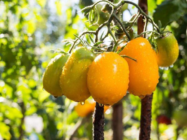 Плоды сорта Олеся не подходят для консервации