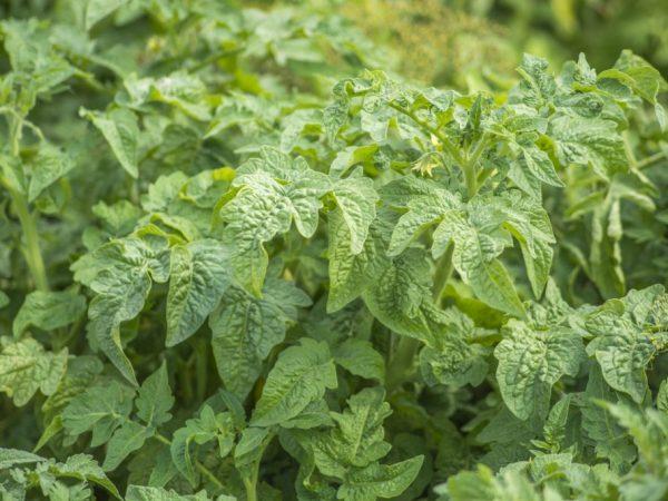 Закалка растений придаст им устойчивость к негативным факторам