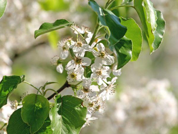 Посадите грушу на солнечное место