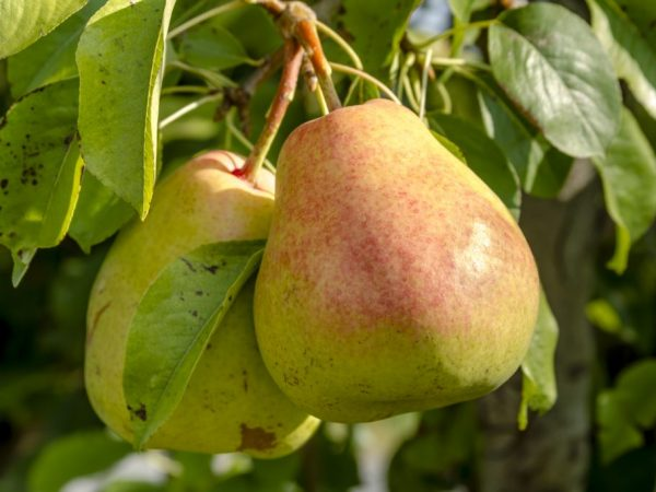 Характеристика груши сорта Осенняя Яковлева