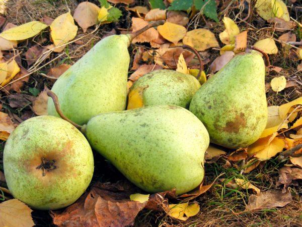 Сорта груши Пакхам нуждается в качественном уходе