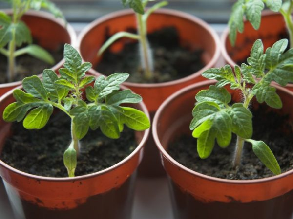 Пересаживать растения лучше в специальный грунт