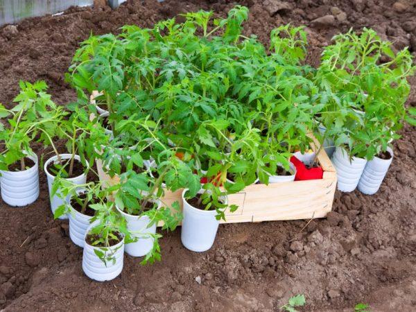 Правила пересадки рассады помидоров