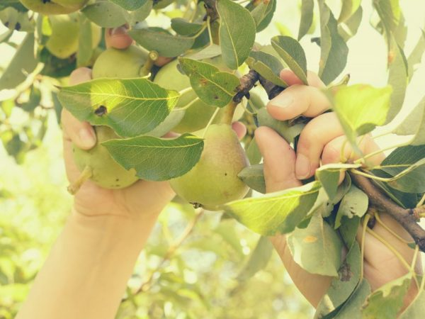 Регулярный уход за сортом способствует повышению плодоношения
