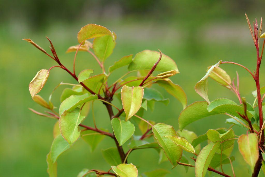 Почему груша не цветт и не плодоносит основные причины и что делать