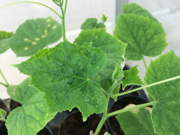 Причины скручивания листьев у огурца
