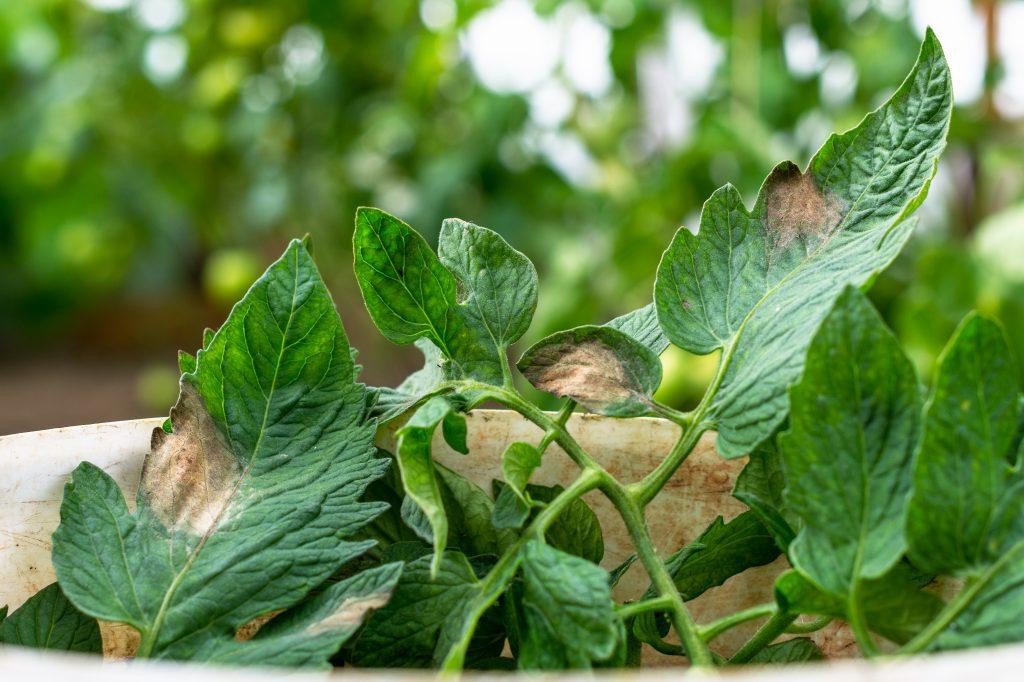 Желтеют нижние листья томатов почему