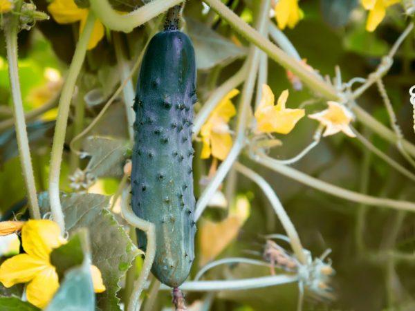 Подкормка огурцов в период цветения и плодоношения