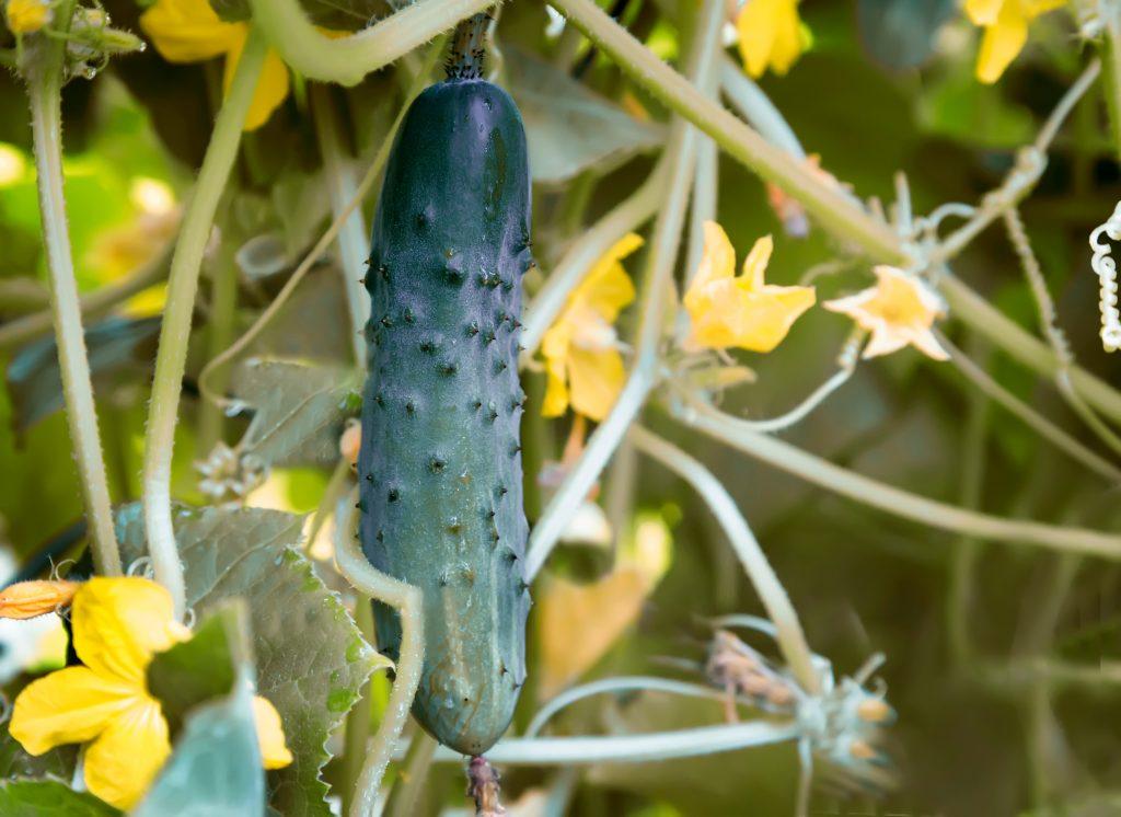 Подкормка огурцов во время цветения и плодоношения